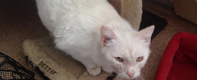 Белая красавица с золотыми глазами в поисках дома.
