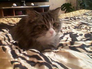 Багира, кошка возраст около года. Стерилизованная.