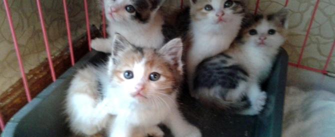 Кошечки – трехцветки для счастья в Вашем доме!
